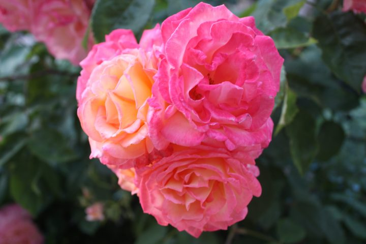 Wall Street rose in a private Venetian garden facing the Grand Canal