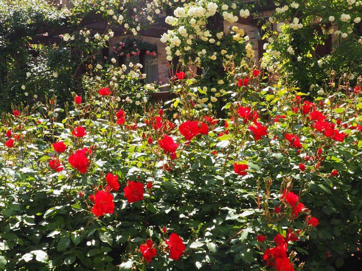 der versteckte Rosengarten