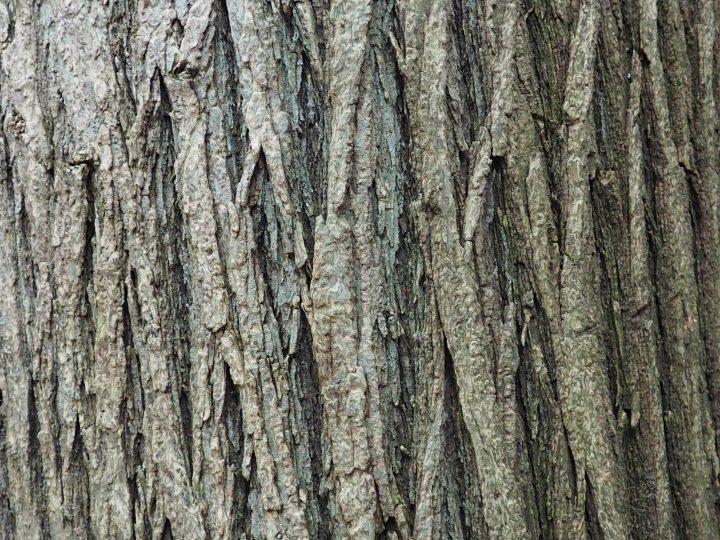 japanischer Schnurbaum